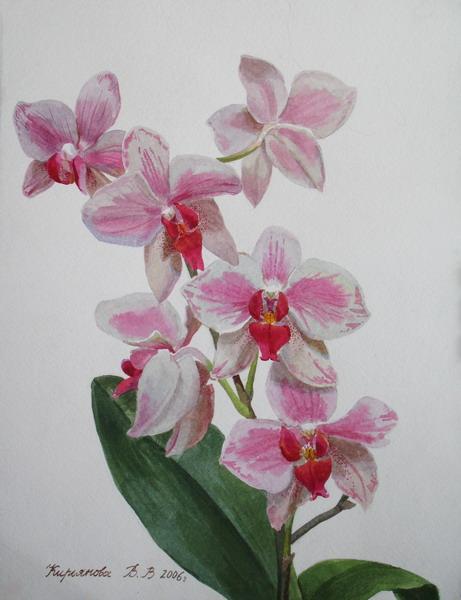 Цветок педилантус фото комнатное